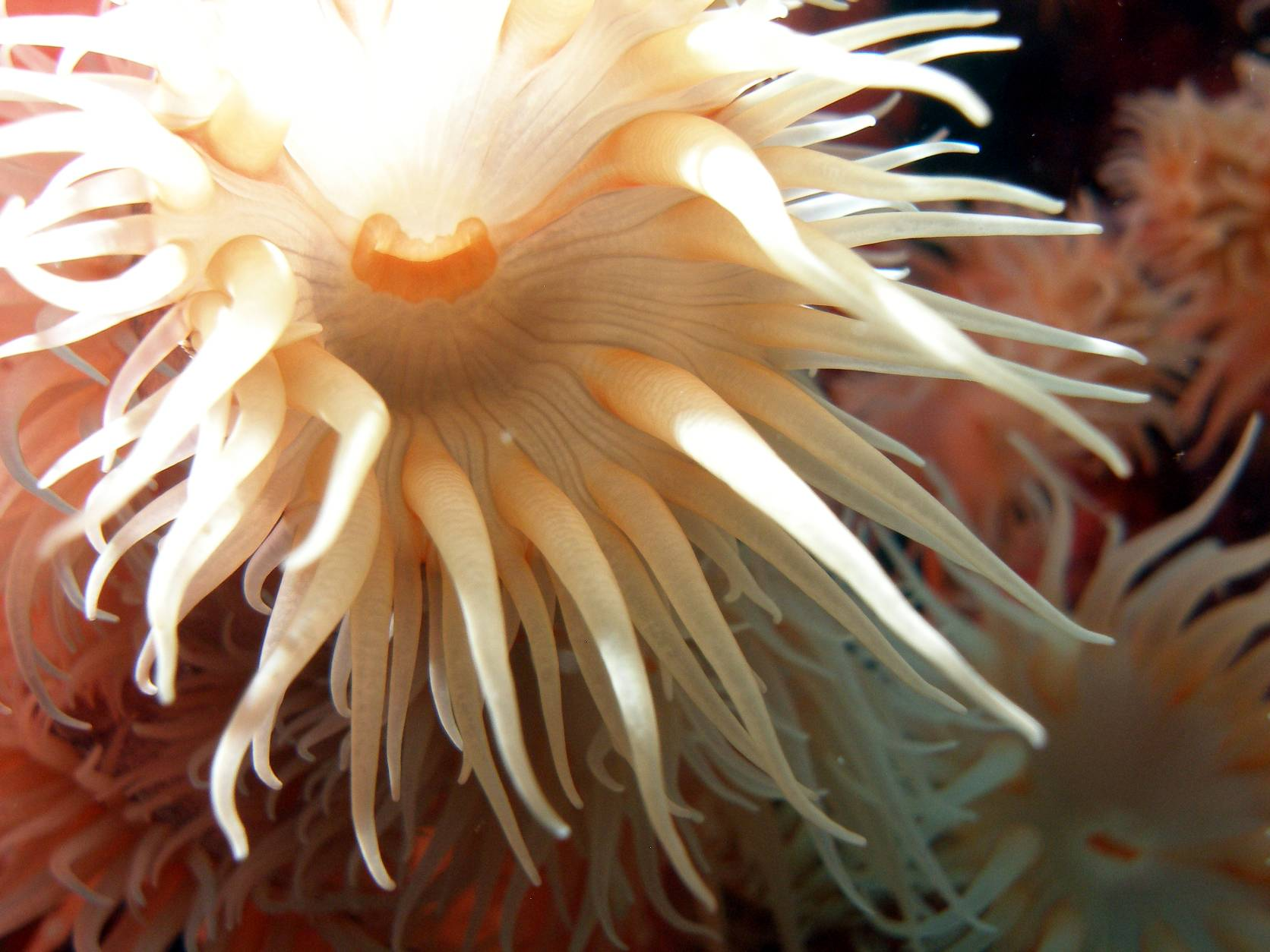 See-Anemone